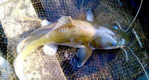 Peluang Usaha Budidaya Ikan Baung
