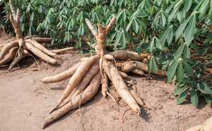 Tepung MOCAF singkatan dari Modified Cassava Flour