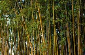 Budidaya Bambu