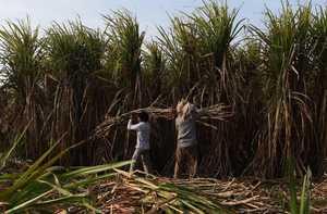 Produksi Gula Di Indonesia