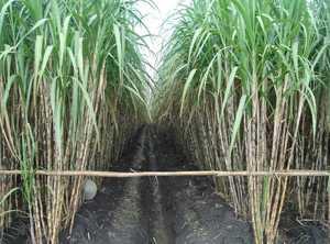 Rekomendasi Khusus Industri Gula