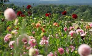 Kajian Prospek Usaha Perkebunan Bunga Potong