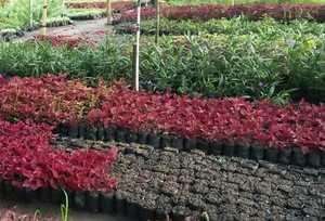 Ketersediaan Benih / Bibit Bunga Potong